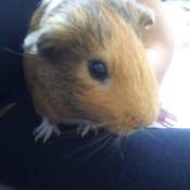 Simon (Guinea Pig) - person holding Simon