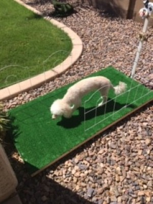 Outdoor Doggie Commode - shaved small white dog in the commode