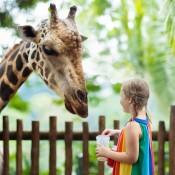 A girl feeding a giraffe at the zoo.