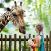 A girl feeding a giraffe at the zoo.