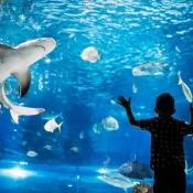 A boy looking into an a tank of sharks at an aquarium.