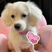 What Do You Think My Puppy Is Mixed With? - cute white puppy on a pink pet chair