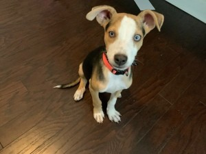 What Breed Is My Puppy? - tri colored puppy with blue eyes