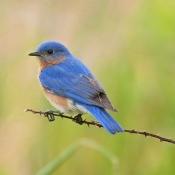 A bluebird sitting on a branch.