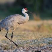 A sandhill crane walking in a grassy area.