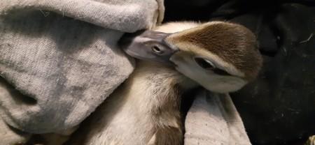 Muscovy Duckling - baby in blanket