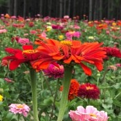 A field of brightly colored zinnias.