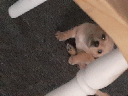 What Is My Chihuahua Puppy Mixed With?