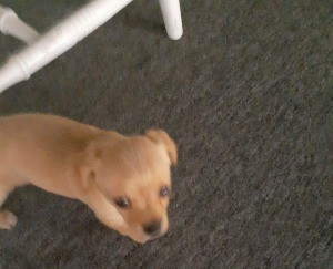 What Is My Chihuahua Puppy Mixed With? - tan puppy