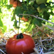 A ripe red tomato in a garden.