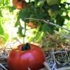 A ripe red tomato in a garden.
