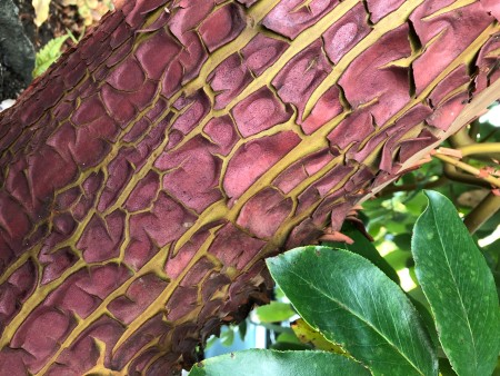 Peeling Bark on a Madrone Tree - peeling bark on a madrone