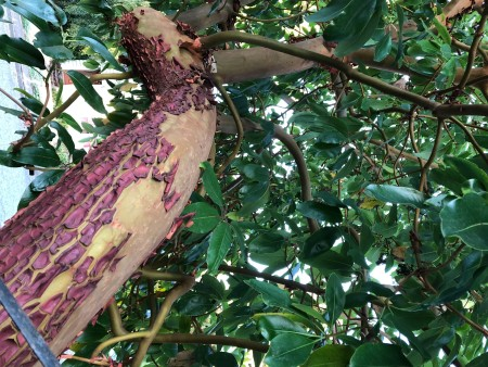 Peeling Bark on a Madrone Tree - view of an area of the trunk with both newly exposed bark and the sloughing bark layer