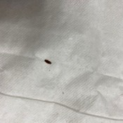 Identifying a Small Black Bug? - long black bug on white background