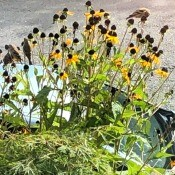 Finches Dining on Rudbeckia Seeds - late flowers and finches eating the seeds of the earlier blooms