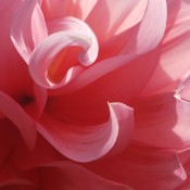 A close up of a pink dahlia bloom