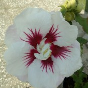 A white flower with deep pink/red marking in teh middle.