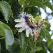 A praying mantis on a passionfruit vine flower.