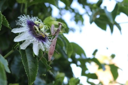 A praying mantis on a passionfruit vine flower.