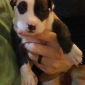 A small brown and white puppy.