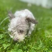 Missy (Shih Tzu/Yorkie) - gray dog in grass and clover