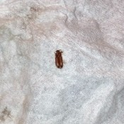 A small brown bug on a white surface.