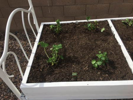 Strawberry plants in a raised bed.