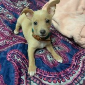Is My 15 Week Chihuahua is Full Blooded? - dog on bed