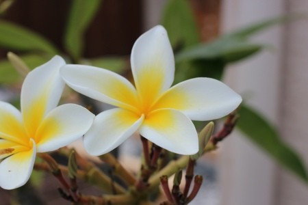 A white and yellow plumeria in bloom.