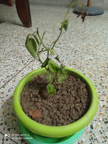A wilting rose plant in a pot.