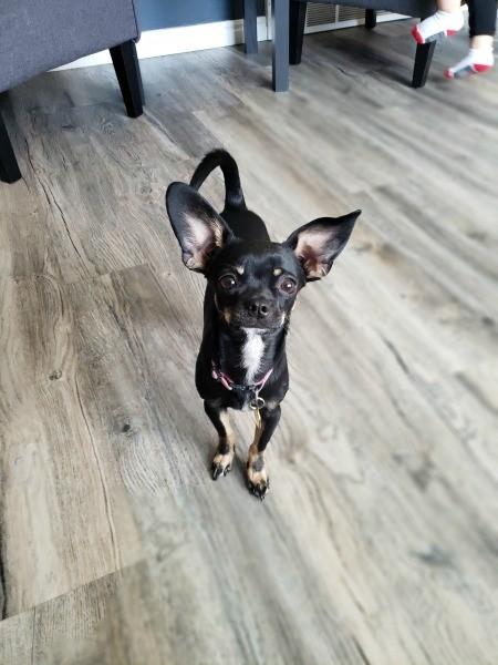 A small dog on a wood floor.