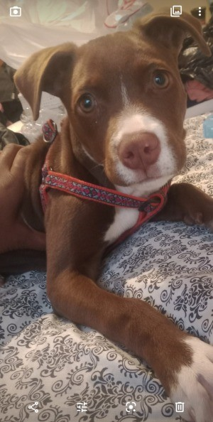 Is My Dog a Full Blooded Pit Bull? - brown and white young dog
