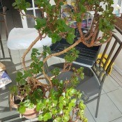 Identifying a Houseplant? - leggy potted plant