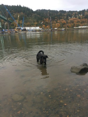 A black dog in water.