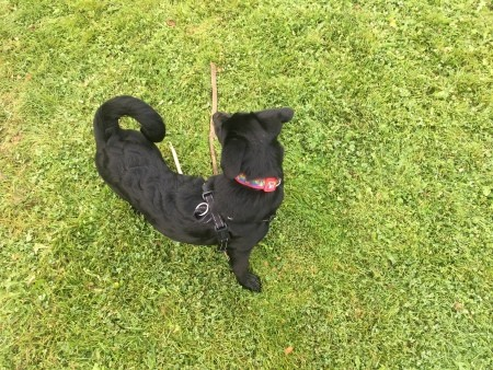A black dog on grass.