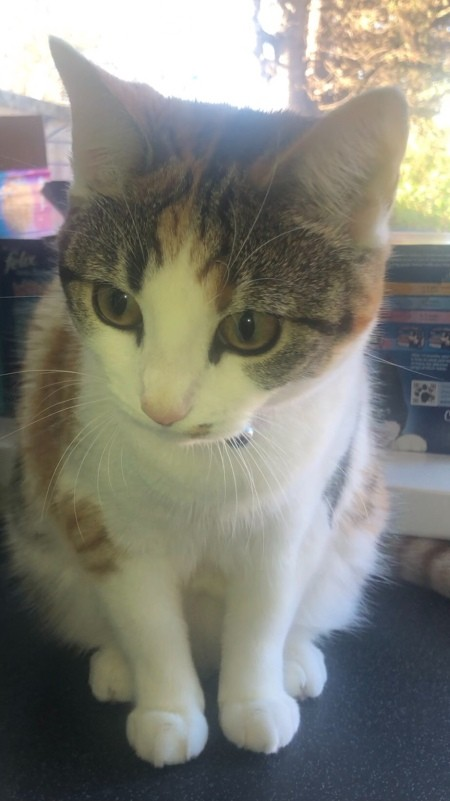What Breed Is My Female Calico Cat?
