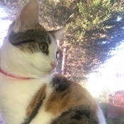 What Breed Is My Female Calico Cat? - side view with head turned back over shoulder