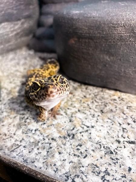 Pirate (Leopard Gecko) - spotted gecko in a terrarium