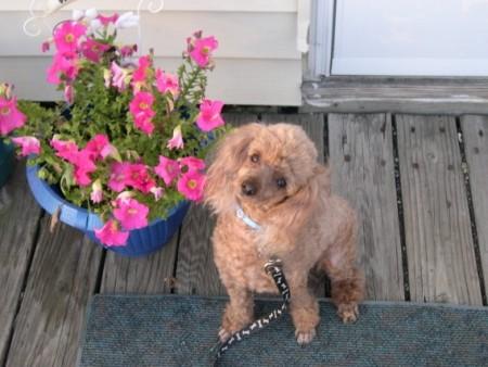 A dog next to a petunia.