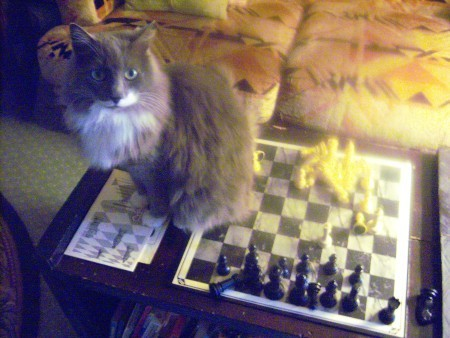Baby (Cat) - long haired gray and white cat sitting on a chessboard