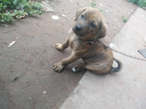 A small brown puppy sitting on the ground.