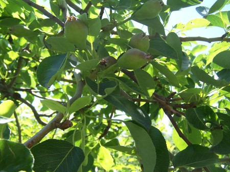 A tree with many pears beginning to ripen.