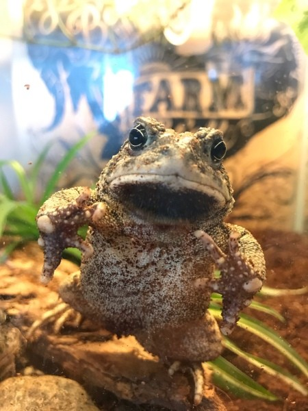 A large toad in his tank.