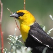A black bird with a yellow head.