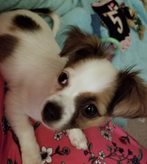 Is My Dog a Chihuahua? - tri-colored puppy