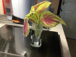 A cutting of coleus in a small recycled jar.