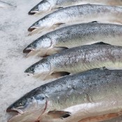 A row of whole salmon on ice.