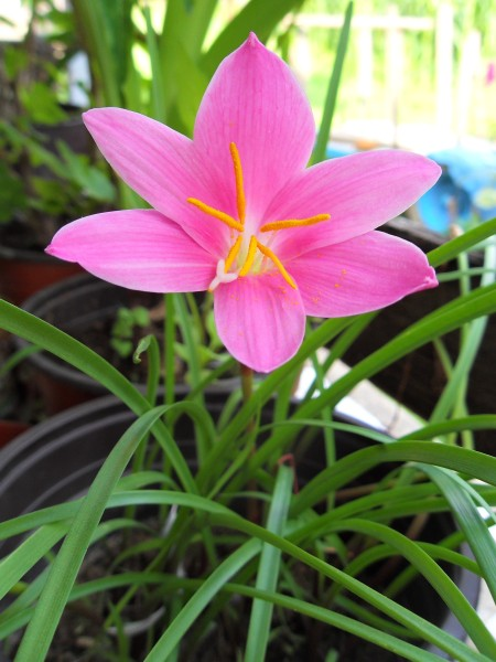 A pink flower in a pot.