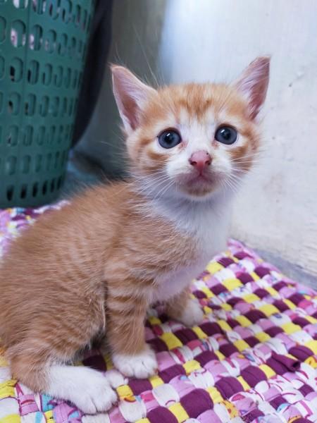 A orange and white kitten.