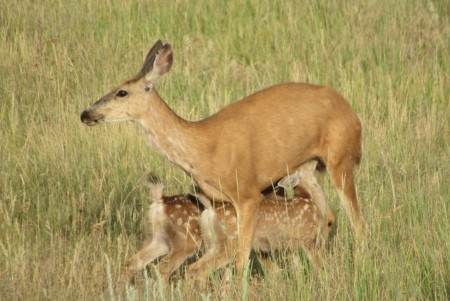 A doe with her two spotted fawns.